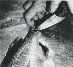 尾鉢にも刃を入れる